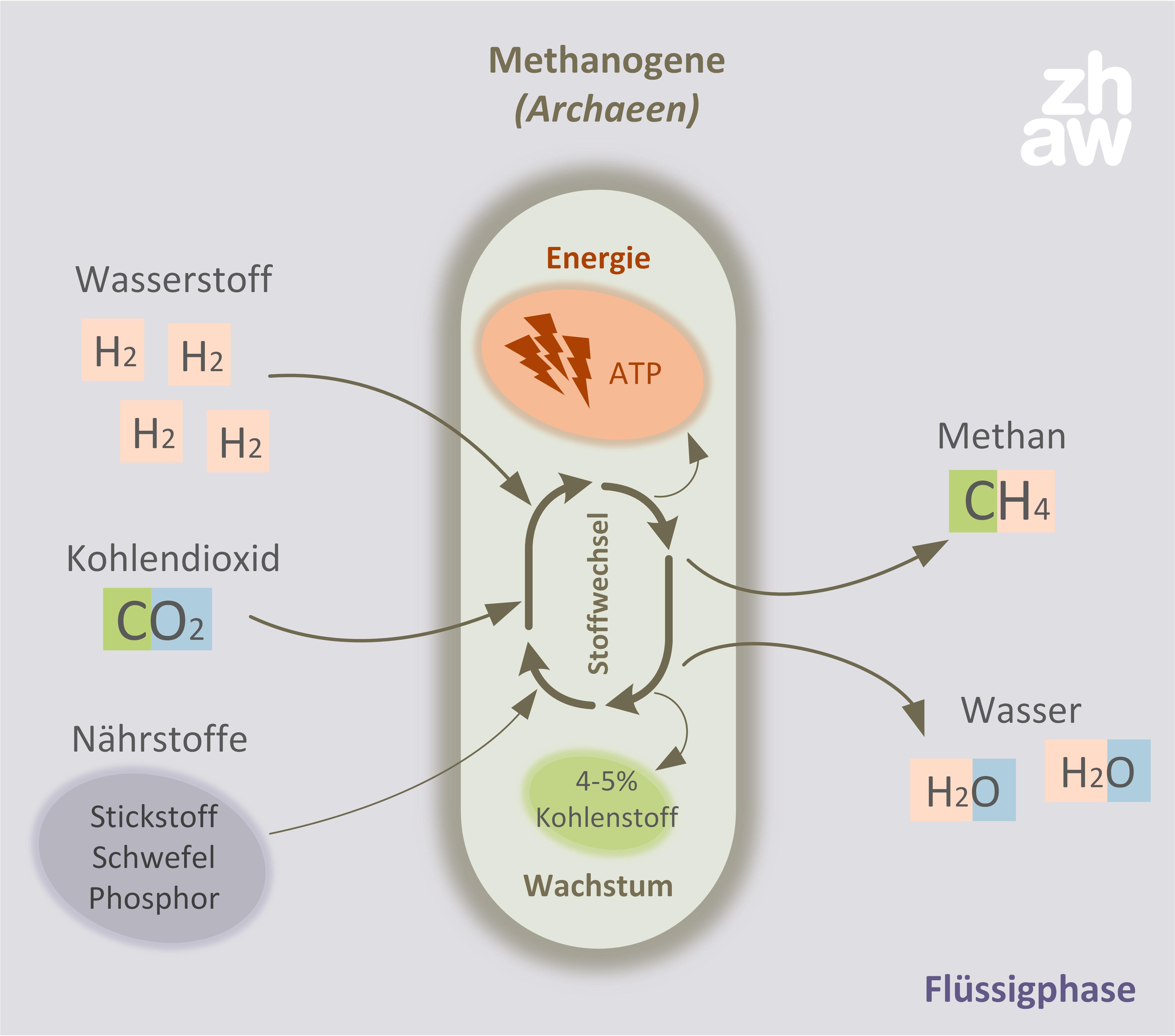 2. Schritt: Methanisierung mit hochspezialisierten Mikroorganismen.
